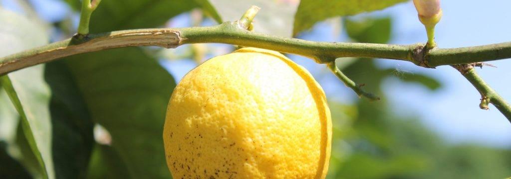 Essence citron