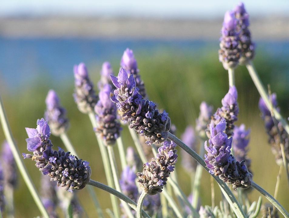 lavender-19235_960_720